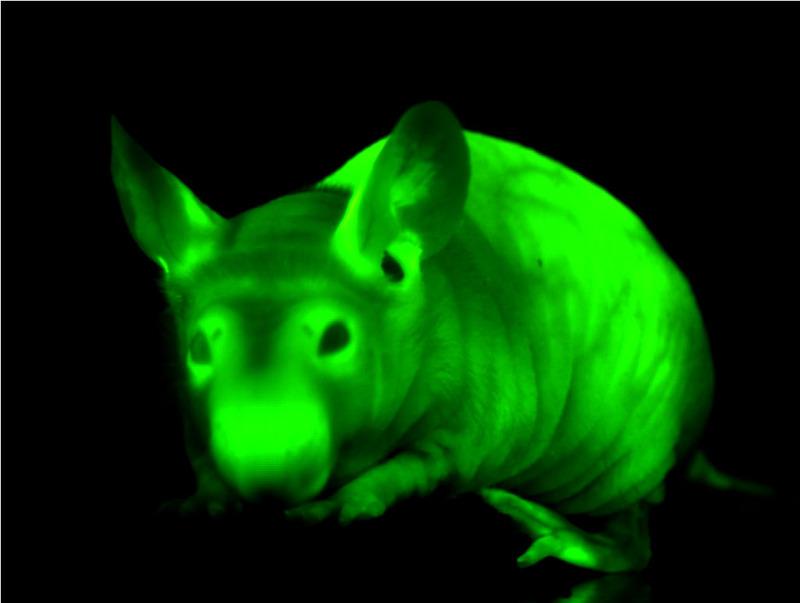 Fluorescent_mouse